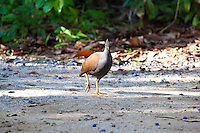 Orange-Footed Scrubfowl, Daintree NP, Queensland, Australia