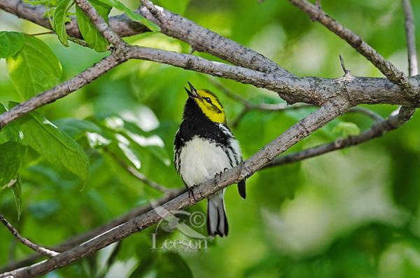 Black-throated Green Warbler (Dendroica virens) male rests near Lake Erie shoreline, spring migration, North America.