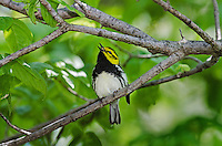 Black-throated Green Warbler (Dendroica virens) male rests near Lake Erie shoreline, spring migration, North America.
