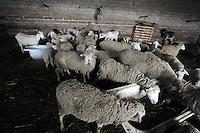 Allevamento di pecore. Breeding of sheep...