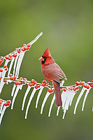 Northern cardinal, also redbird or common cardinal, Cardinalis cardinalis, adult male perched on icy branch of meadow holly, Ilex decidua, with berries, Hill Country, Texas, USA, North America