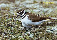 1K04-007z  Killdeer - adult sitting on eggs - Charadrius vociferus