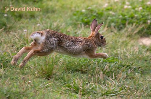 0613-0902  Eastern Cottontail Rabbit Running - Sylvilagus floridanus  © David Kuhn/Dwight Kuhn Photography