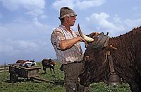 Europe/France/Auvergne/15/Cantal/Parc Régional des Volcans/Env d'Allanche: Buron de la Croix Blanche - La traite des vaches [Non destiné à un usage publicitaire - Not intended for an advertising use] <br /> PHOTO D'ARCHIVES // ARCHIVAL IMAGES<br /> FRANCE 1980