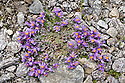 Alpine Toadflax {Linaria alpina} in flower, growing amongst fragments of schist. Austrian Alps, July, 2500 metres above sea level.