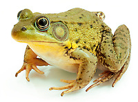 Green Frog.Rana clamitans
