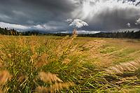 Wind blown grasses, Katmai National Park, Alaska.
