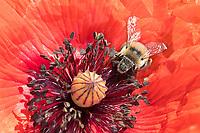 Gebänderte Pelzbiene, Streifen-Pelzbiene, Sommer-Pelzbiene, Sommerpelzbiene, Pelzbiene, Weibchen, Anthophora aestivalis, Anthophora intermedia, flower bee, female, Pelzbienen, Blütenbesuch an Mohn, Papaver