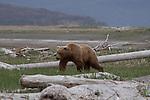 Adult Grizzly bear walking on tundra in Katmai National Park, Alaska