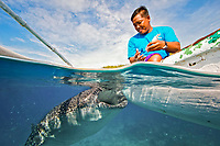 fishermen feeding a whale shark, Rhincodon typus, in Oslob, Philippines, Indo-Pacific Ocean This practice has become a mojaor yet controversial tourist attraction.