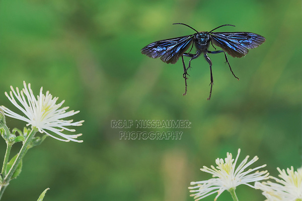 Blue Mud Dauber (Chalybion californicum), adult in flight among Old man's beard (Clematis drummondii) flower, Dinero, Lake Corpus Christi, South Texas, USA