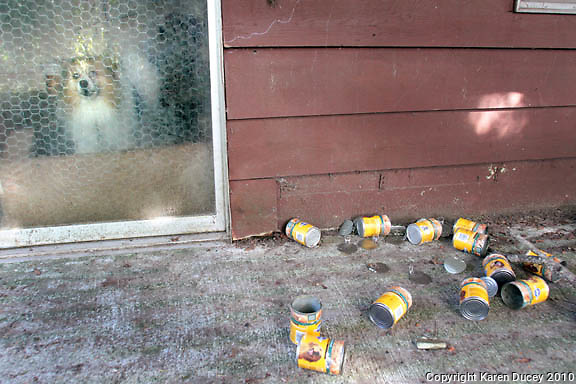 A dog who has allegedly been stuck in a basement for years in Shoreline, WA on September 22, 2010.  No one has lived there for 3 months but someone comes and feeds the dog a couple times a week. (photo by Karen Ducey)