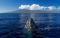 A curious humpback whale brings it's head out of the water, the island of Lanai is in the background.