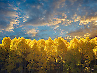 Aspen trees in fall color and around June Lakes Loop.Eastern Sierra Nevada Mountains, California