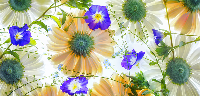 Gerbera flowersand Blue Ensign (Convolvulus tricolor) close up. Oregon