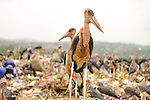 Landfill, Kampala, Uganda..Human scavengers and Marabou Storks coexist at the  massive municipal dump site in Kampala, Uganda..The people collect plastic, tin, and other valuable scrap while the storks seek food scraps.