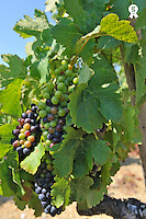 Grape on a vine on vineyards, summertime (Licence this image exclusively with Getty: http://www.gettyimages.com/detail/95794828 )