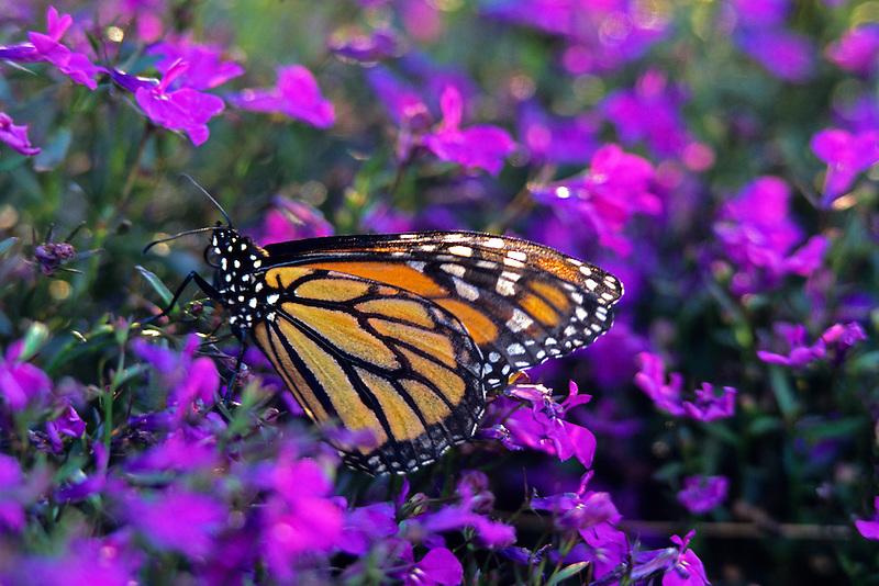Monarch butterfly. Near Monroe, Oregon.