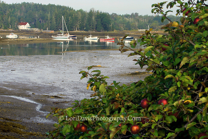 Apple Tree overlooking Bass Harbor  #S16