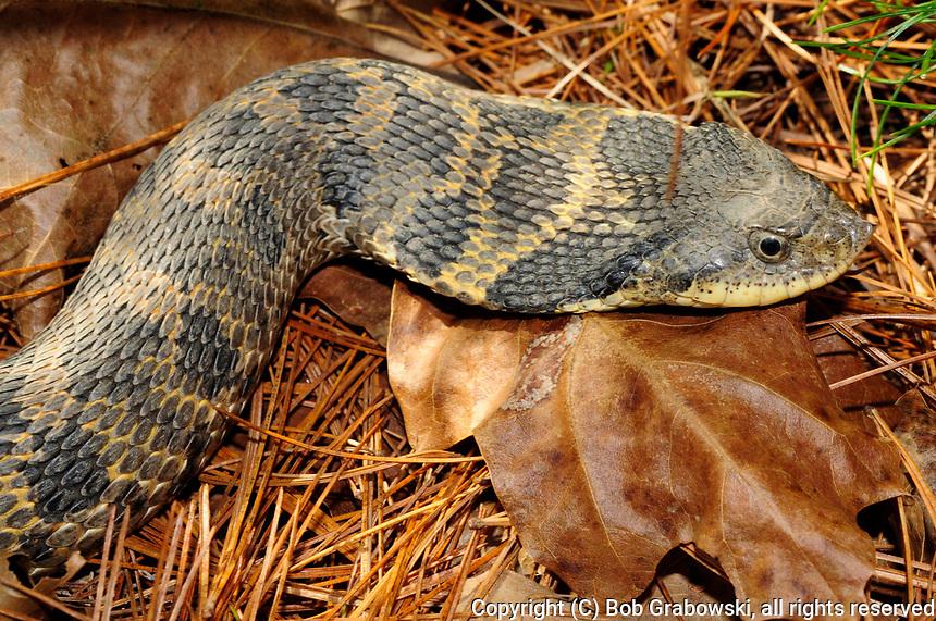 Eastern Hognose Snake (Heterodon platirhinos) in the Wilton Park And Preserve, New York. When threatened, they will flatten their heads.
