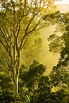 Early morning sunlight and rising mist in lowland dipertocarp rainforest. Mengarris Tree (Koompassia excelsa). Danum Valley, sabah, Borneo.