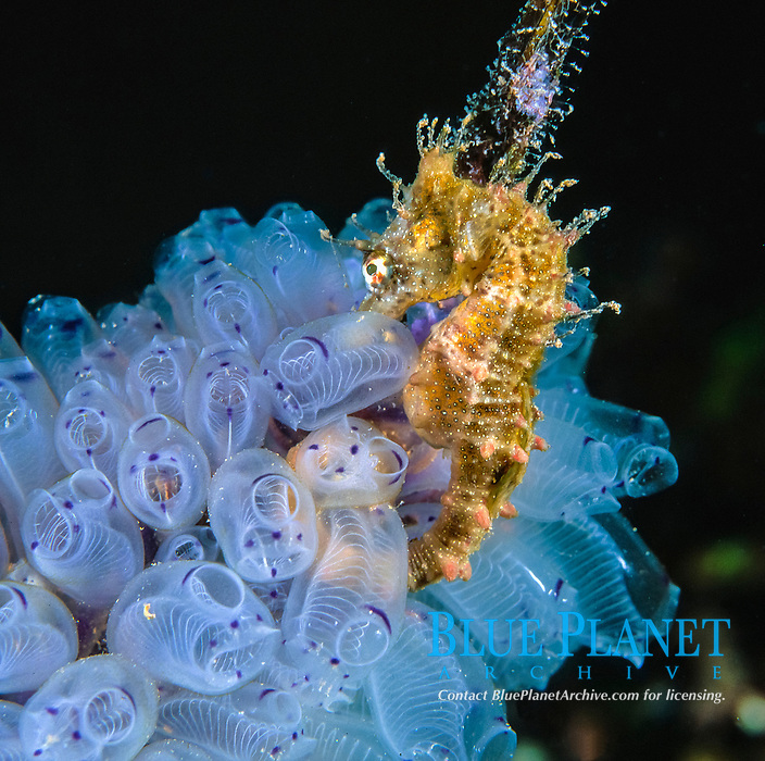 short snouted seahorse, Hippocampus breviceps, resting on tunicates, Edithburgh Jetty, Yorke Peninsula, South Australia, Australia, Southern Ocean