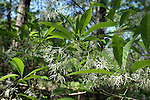 The fringe tree blooms in early spring and has unique white showy flowers.
