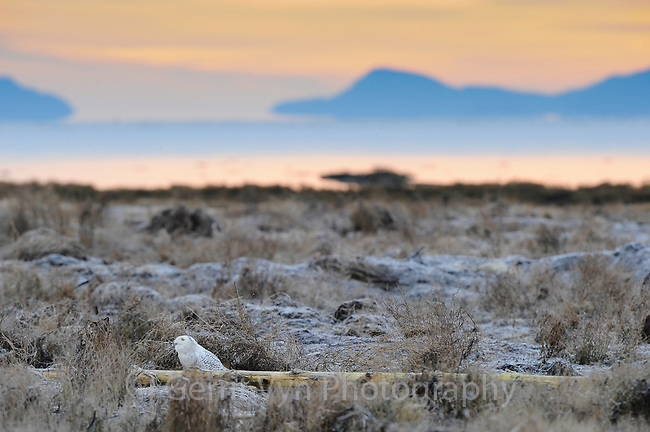 A Snowy Owl (Bubo scandiacus) hunkered down on the shores of Boundary Bay watching a Bald Eagle fly overhead. Vancouver, British Columbia. January.