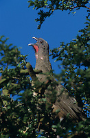 Plain Chachalaca, Ortalis vetula, adult calling on Ebony tree, The Inn at Chachalaca Bend, Cameron County, Rio Grande Valley, Texas, USA, May 2004
