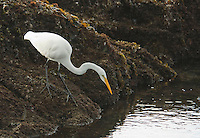 Great egret, Casmerodius albus, fishing in tidepools near Mendocino, California