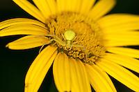 Veränderliche Krabbenspinne, Weibchen gut getarnt auf Blüte, Tarnung, Krabben-Spinne, Misumena vatia, goldenrod crab spider
