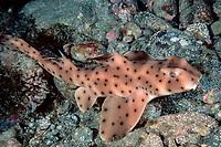 juvenile horn shark, Heterodontus francisci, California, East Pacific Ocean