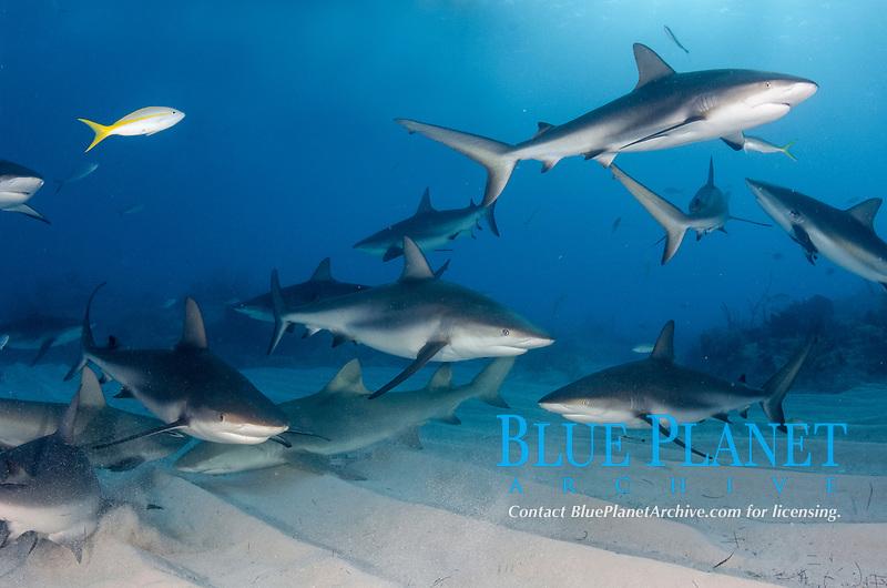 Caribbean Reef Sharks, Carcharhinus perezii, at Fish Tales near Tiger Beach, Grand Bahama Bank, Caribbean Sea, Atlantic Ocean
