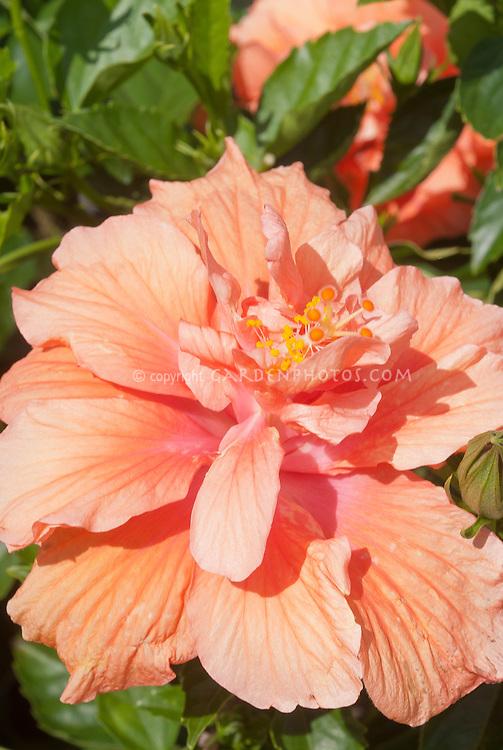 Hibiscus rosa-sinensis 'Double Peach' coral color orange