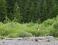 A mule deer near Soda Butte Creek in Silver Gate, MT.