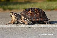 1003-0803  Male Eastern Box Turtle Crossing Paved Road - Terrapene carolina © David Kuhn/Dwight Kuhn Photography.