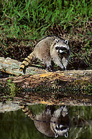 Raccoon (Procyon lotor).  Pacific Northwest.  Spring.
