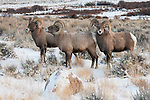 Three bighorn sheep rams stand amid the snow-covered sagebrush in Dubois, Wyoming.