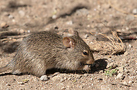 African Grass Rat, Arvicanthis niloticus dembeensis, feeding on small plants in Serengeti National Park, Tanzania