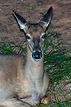 White-tailed deer doe resting at edge of forest, close-up head and neck, vertical.