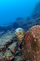 Hawaiian monk seal, Neomonachus schauinslandi (formerly Monachus schauinslandi), mature male, critically endangered species, endemic species, Lehua, Niihau, Hawaii, USA, Pacific Ocean