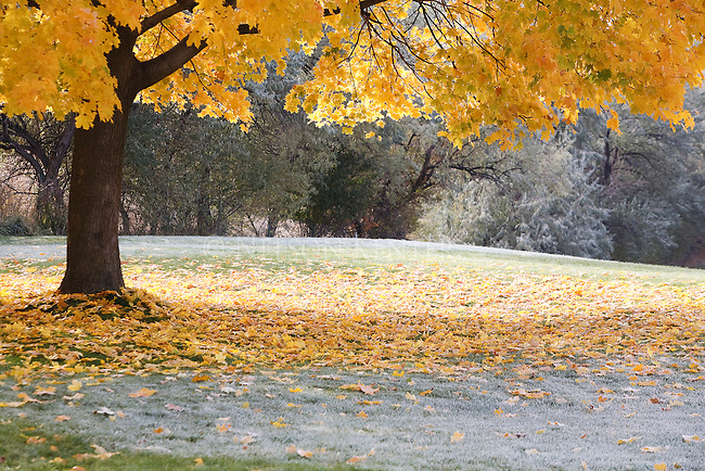 Maple leaves in autumn color and frost covered grass