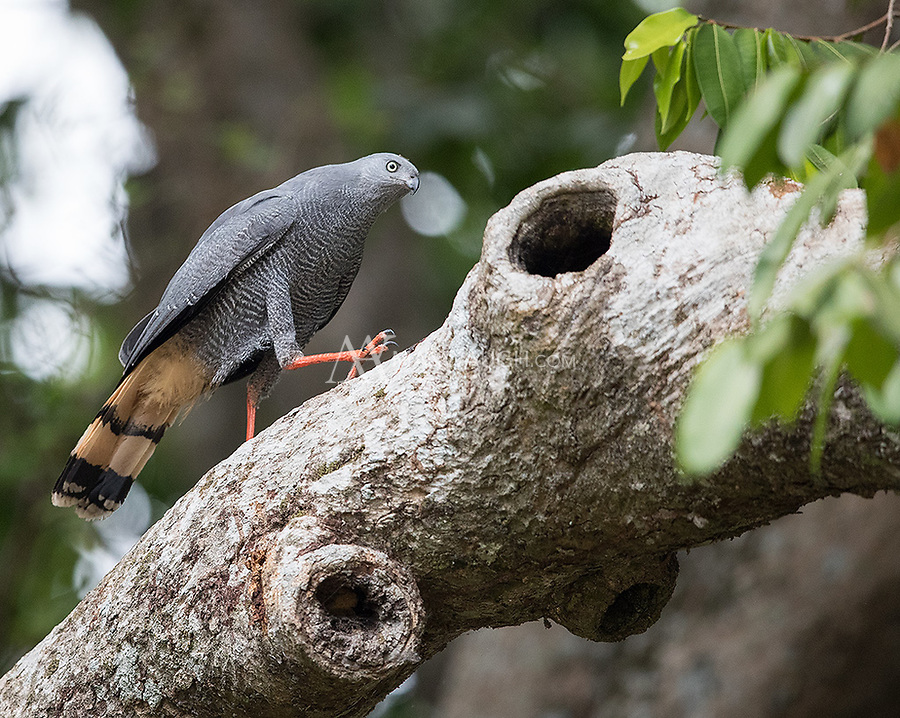The Crane Hawk is double-jointed, allowing it to reach into crevices while hunting for prey such as small reptiles and rodents.