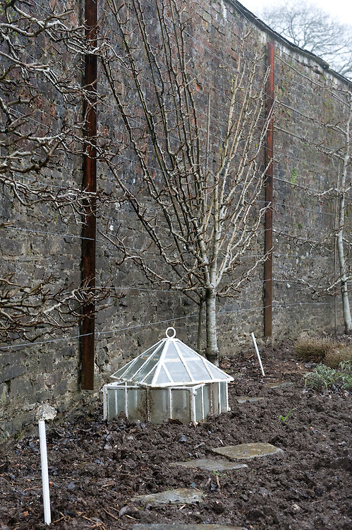 Fan-trained Plum 'Denniston's Superb' with traditional glass lantern cloche, Heligan, Cornwall, mid February.