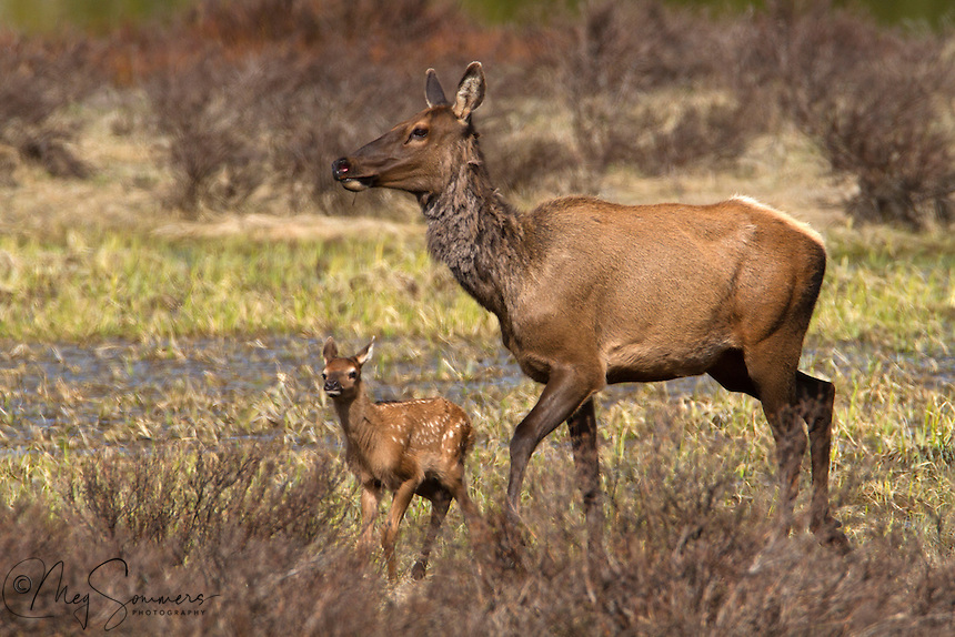 The elk or wapiti (Cervus canadensis)are a treat to see in Yellowstone, especially a very new born a calf. You can tell he/she is new born by the diminutive size and relative unsteady use of his legs.