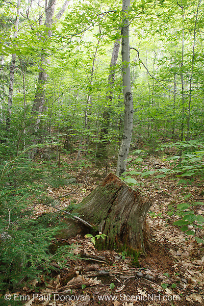 Decaying treee stump in the White Mountain National Forest of New Hampshire USA