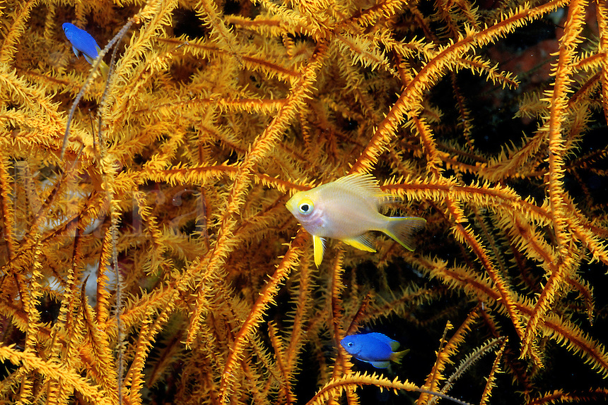 Black coral, Antipathes sp., forms large trees on deep reefs that often provide shelter for juvenile fishes, Fiji, Indo-Pacific