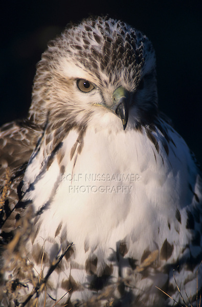 Red-tailed Hawk, Buteo jamaicensis,adult, Bosque del Apache National Wildlife Refuge , New Mexico, USA