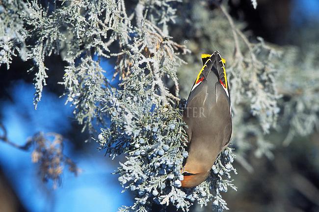 Bohemian Waxwings feeding on frosty juniper berries on a frigid winter morning in Montana