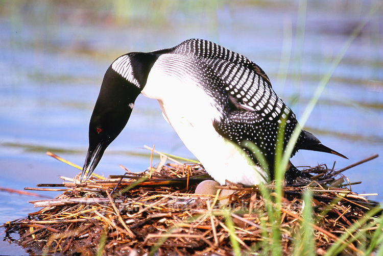 Common Loon (Gavia immer) sitting on Eggs and repairing Nest on Lake, BC, British Columbia, Canada